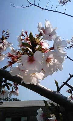 桜09年.jpg