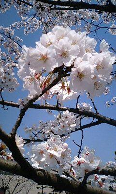 桜09年2.jpg